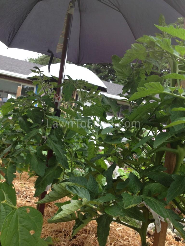 tomato-umbrella1