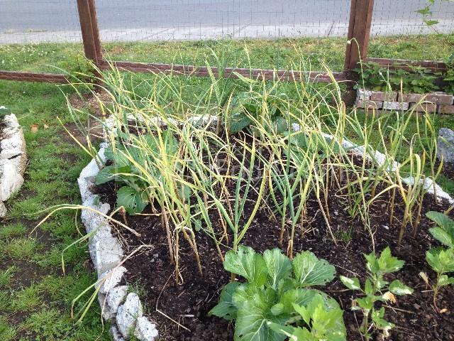 a bok garlic