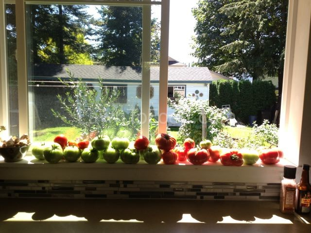 window sill tomatoes 1