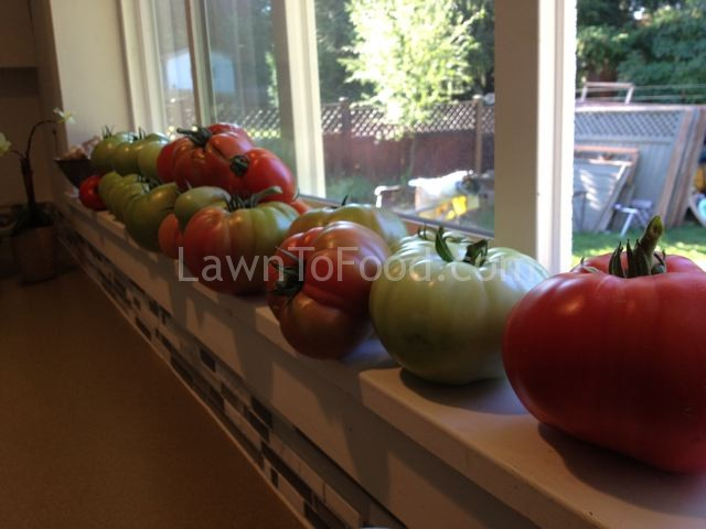 window sill tomatoes