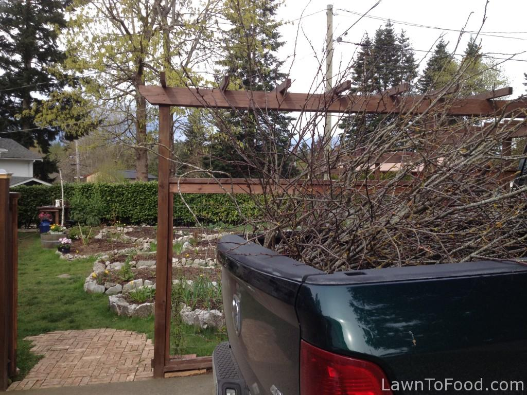 Truck load of branches for twig trellis project.