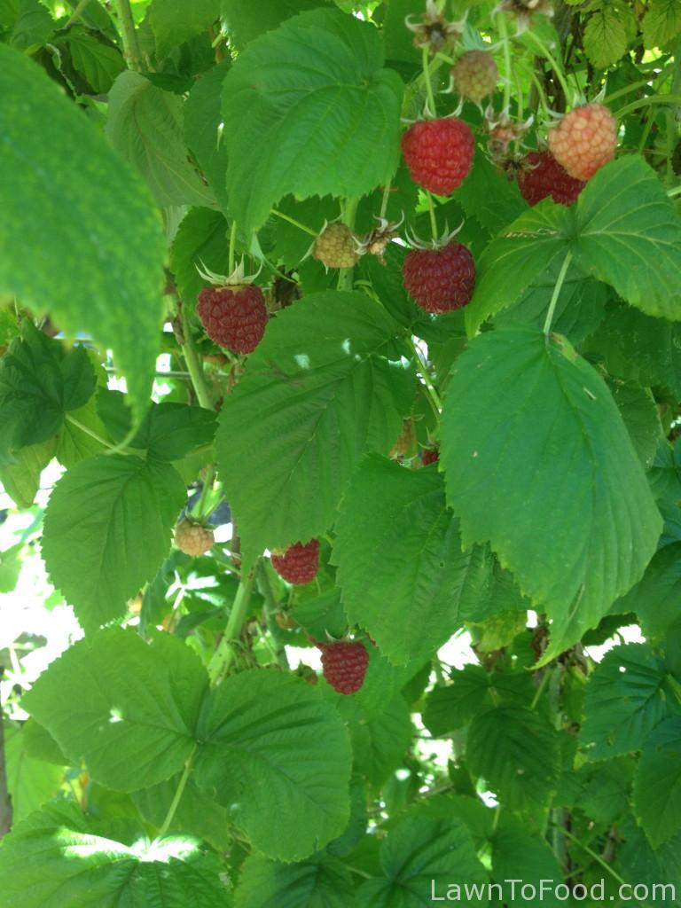 Our bumper crop of 2014 raspberries.