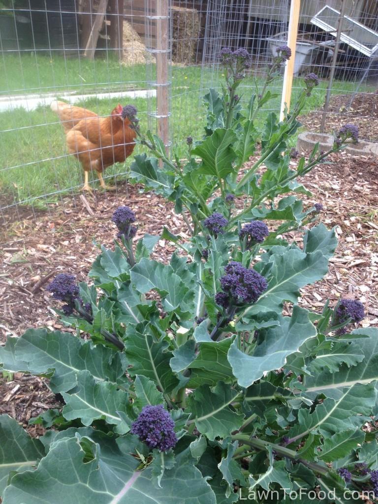 purple broccoli